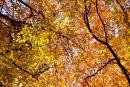 Autumn canopy - Bradenham Woods