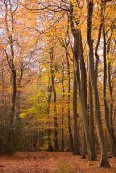 Autumn in Bradenham Woods