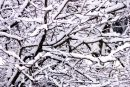 Trees branches under snow