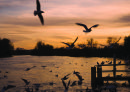 Birds over the river - at dusk