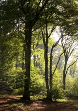 Chiltern Hills - beech woods on Pulpit Hill