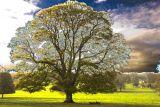 Oak tree - Hughenden