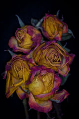 Faded Roses #1