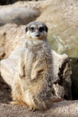 Meerkat at London Zoo