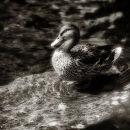 Wharfe Duck
