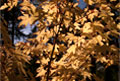 Japanese Maple 3