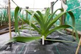 Leeks growing for showing