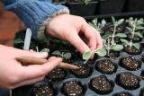 Planting a cutting