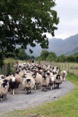 Sheep in the Lakes