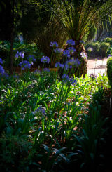 sun through Agapanthus