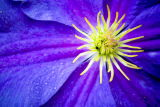 Clematis close-up