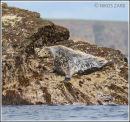 Seals on Orkney.