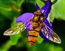 Hoverfly On Lobelia 2