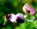Large Hoverfly Feeding