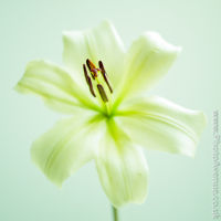 Lilly 2