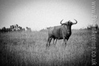 The lone wildebeest