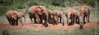 Elephants at the waterhole 2