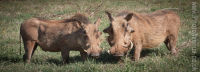 The warthog couple