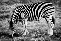 Zebra but no crossing