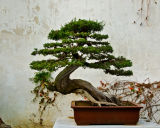Bonsai, Suzhou, China