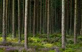 Camore Wood, Dornoch, Scotland