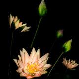 Lilies, Wuxi, China