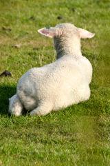 Lamb (back)