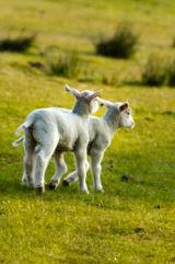 Lambs Cavorting