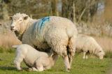Mama Sheep and Lambs