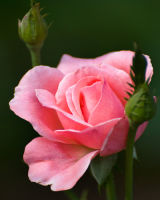 Perfect Rose for ??? (Email me to NAME for your beloved)