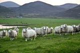Sheep Encounter, Loch Brora