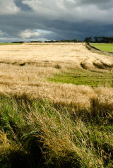 Wheat Field, Sutherland, Scotland