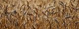 Wheat Field Blues