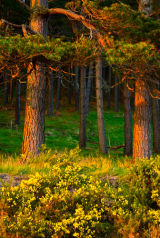 Woodlands Sunset, Loch Brora