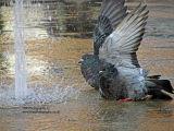 Pigeon Power Shower