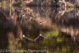 Skimmers Southern Pantanal