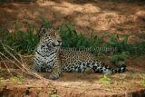 'Wilson' Pride of the Pantanal