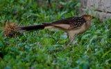 MG 1836 Guira Cuckoo