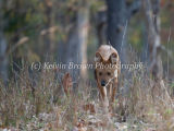 Indian Wild Dog (Cuon alpinus) / Dhole